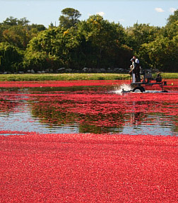 Enjoy a cranberry harvest on your Cape Cod holiday at the High Pointe Inn Bed and Breakfast on Cape Cod