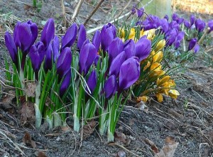 Cape Cod Spring Crocuses