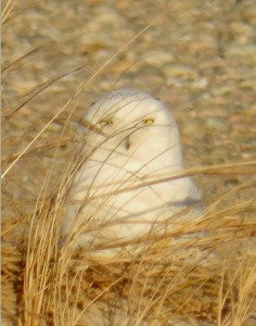 Snowy Owl at Sandy Neck